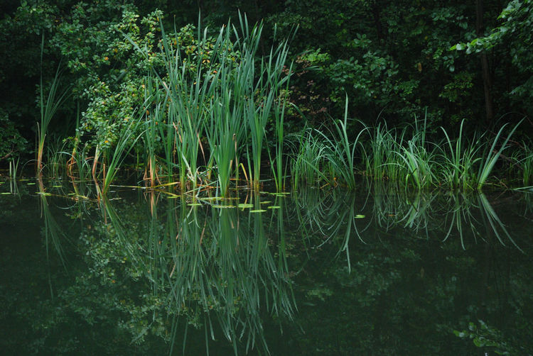 Green Green Color Growing Horizontal Symmetry Nature No People Outdoors Plant Reed Relaxing Moments River Stem Symmetry Tranquil Scene Water