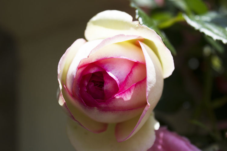A rose by any other name Pink Flower Fragility Freshness Growth Nature No People Petal Pink Color Plant Purple Rose - Flower White