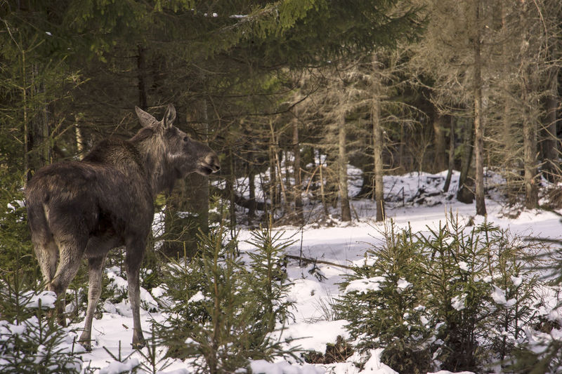 A young moose is walking through the winter forest. Elg Elk Moose Scandinavia Sweden Animal Animal Themes Animal Wildlife Animals In The Wild Cold Temperature Day Elch Forest Land Mammal Nature No People One Animal Outdoors Plant Snow Tree Winter