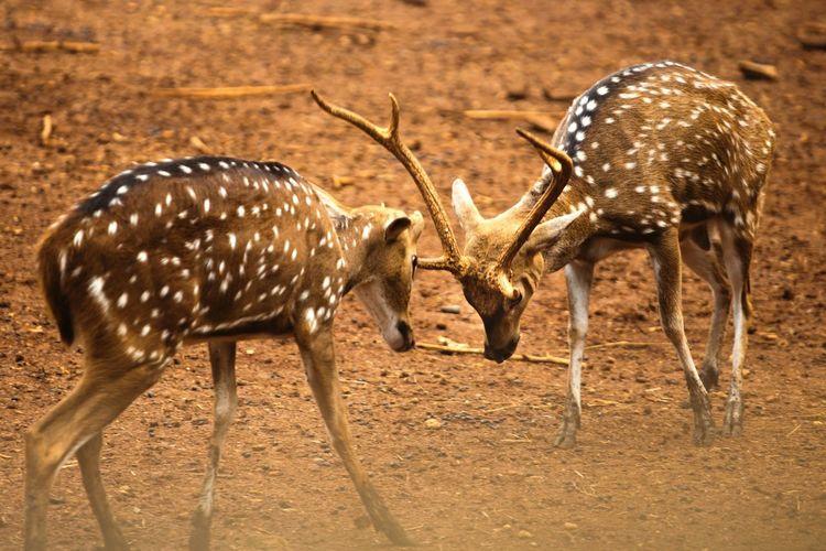 Deer fighting on land