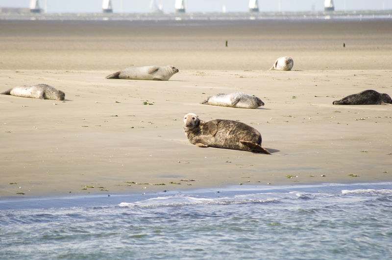 Seals, fur seals, porpoises living in the shallows in the netherlands