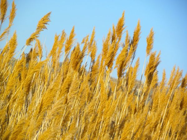 Great Salt Lake Utah Summertime Sumer Memory Nature_collection Essence Of Summer Wheat Wheat Field Sky Antelopeisland