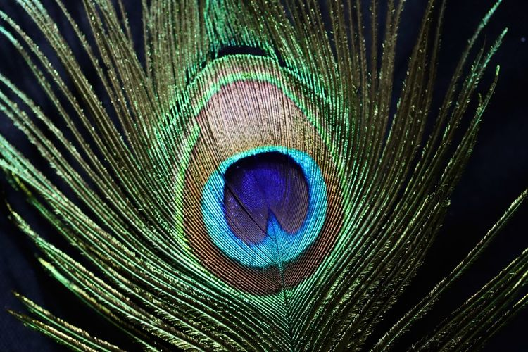 Close-up of peacock feather against black background