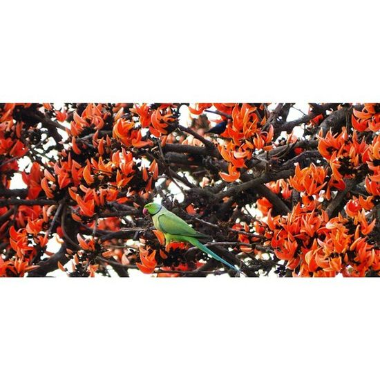 Orange Parakeet FlameOfTheForest Wild