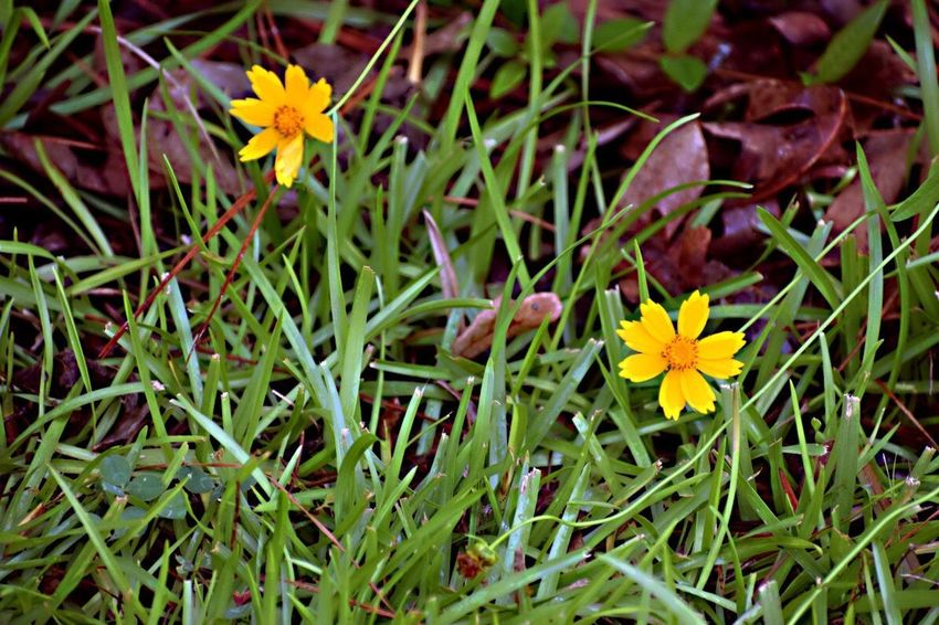 And then there were two... Flower Petal Fragility Yellow Growth Flower Head Beauty In Nature Nature Freshness Plant Blooming Day Outdoors Pollen Wildflower Green Color Springtime No People Close-up Flowerbed