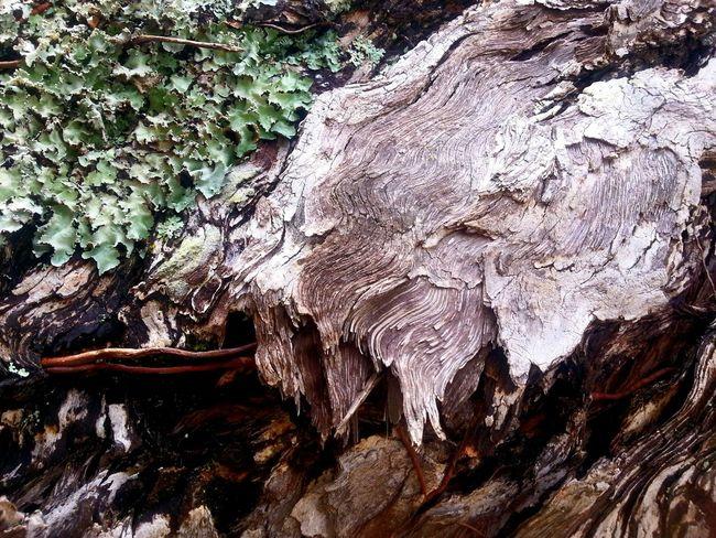 Lichen on pohutukawa tree trunk Natures Textures Nature Textures Texture Green Lichen On A Tree Lichen Tree Tree Trunk