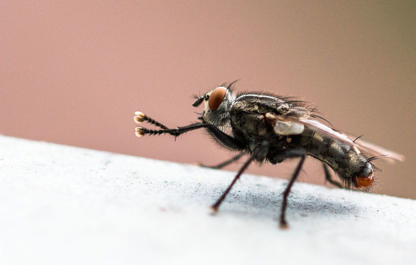 Fly cleaning herself Animal Animal Themes Close-up Fly Housefly Insect Macro No People Selective Focus