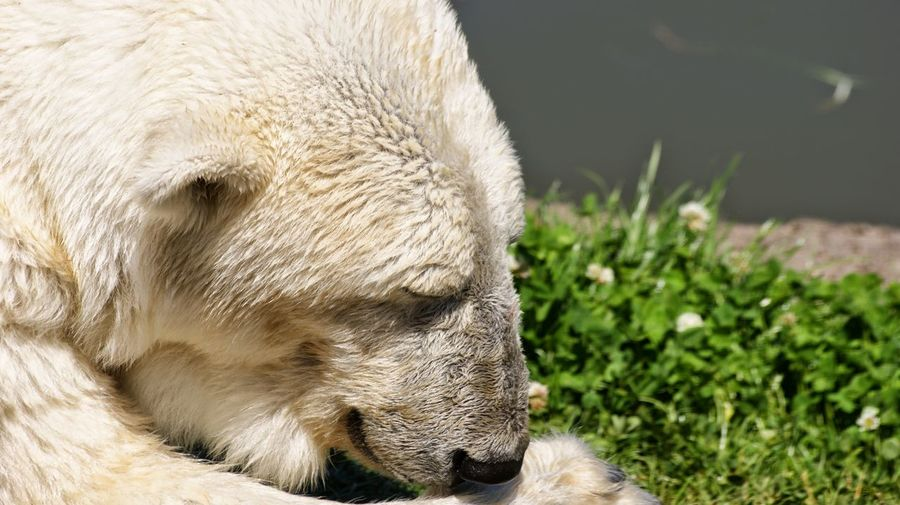 Close-Up Of Polar Bear Relaxing By Lake