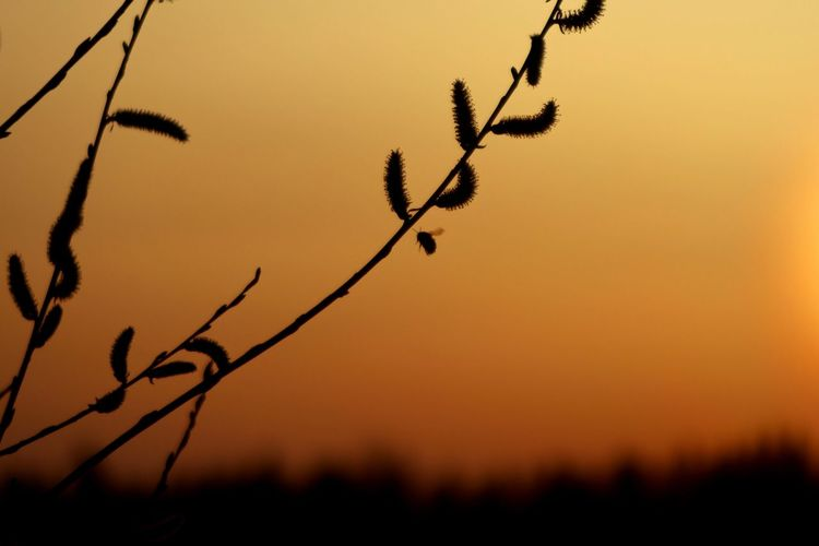 Plant Sky Silhouette Beauty In Nature Nature No People Close-up Bee Salix Keuruu Finland Colored Sky