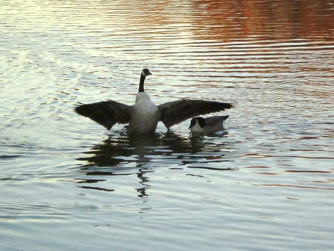 Geese At The Lake Naturelover❤ Lakebeauty Beauty Everywhere