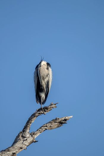 Great Blue Heron bird perched on a branch against blue sky Animals In The Wild Bird Animal Wildlife Animal Themes Animal One Animal Sky Vertebrate Copy Space Clear Sky Perching Tree No People Blue Nature Branch Day Low Angle View Plant Outdoors Great Blue Heron Heron Heron Bird