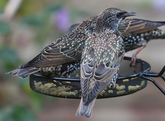 Starlings perching on bird feeder