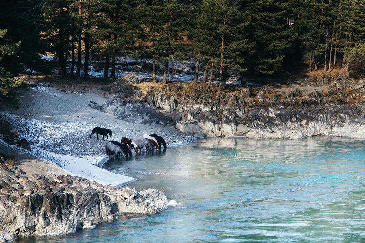 High Angle View Of Horses Drinking Water At River In Forest During Winter