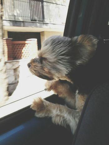 Dog Love Hair Car