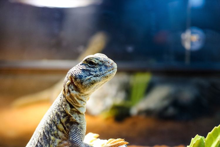 One Animal Reptile Animal Themes Bearded Dragon Lizard Animal Wildlife Animals In The Wild Close-up Nature No People Day Indoors  Iguana