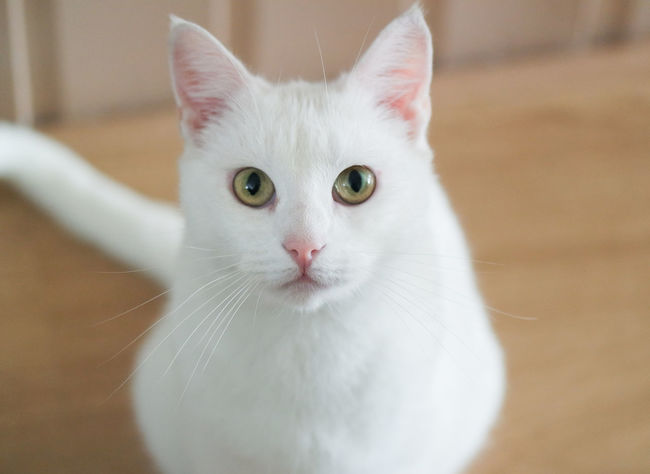 Animal Eye Animal Hair Animal Selfie Animal Themes Carnivora Cat Catselfie Catselfies Close-up Domestic Animals Domestic Cat Feline Focus On Foreground Indoors  Looking At Camera Mammal One Animal Pet Pets Portrait Whisker White Cats