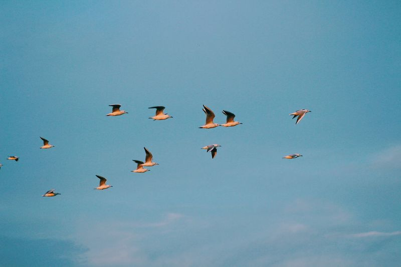 Animal Wildlife Bird Flying Animal Animal Themes Animals In The Wild Vertebrate Motion Day Cloud - Sky Mid-air Large Group Of Animals No People Flock Of Birds Freedom Blue Low Angle View Sky Nature Group Of Animals