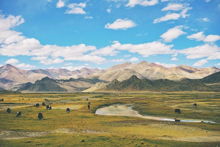 Yaks, mountain, tibet, china