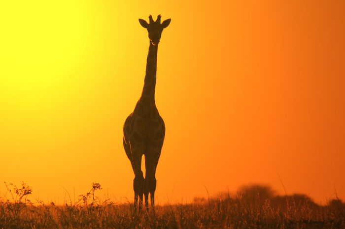 A Giraffe silhouette against a golden yellow sunset sky. Simplistic and Minimalism. Beautiful EyeEmNewHere Giraffe Golden Icon Savannah Africa Animal Themes Animal Wildlife Animals In The Wild Beauty In Nature Field Golden Hour Mammal Minimalism Nature Outdoors Park Protected Safari Silhouette Simplistic Sky Sunset Yellow
