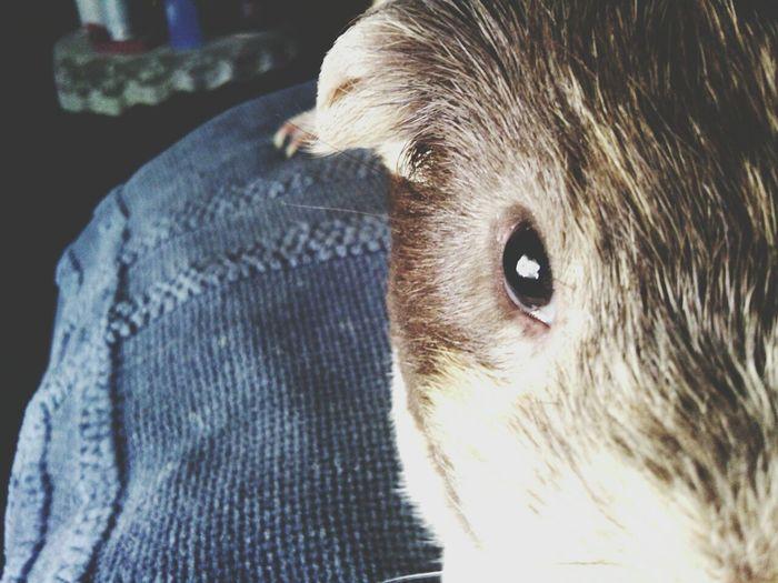 Guinea Pig Animal Cute My Fur Baby