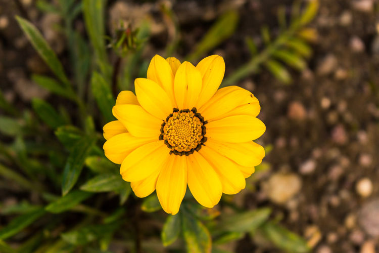 Beauty In Nature Blooming Close-up Day Flower Flower Head Focus On Foreground Fragility Freshness Gazania Growth Nature No People Outdoors Petal Plant Pollen Yellow