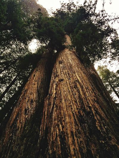 Tree Tree Trunk Wood - Material Day Low Angle View Growth Nature Outdoors Bark Forest No People Branch Sky California Redwoods California Redwoods Lost In The Landscape Lost In The Landscape Perspectives On Nature