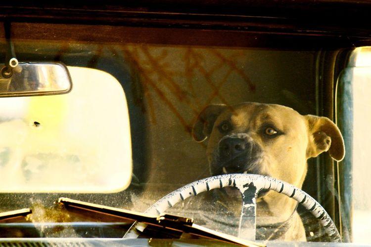 Driver Dog dog love Old Tine Dog Days HOME JAMES!