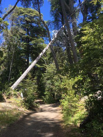 Villa La Angostura South America Argentina Bosque De Arrayanes Tree Growth Tranquility Beauty In Nature