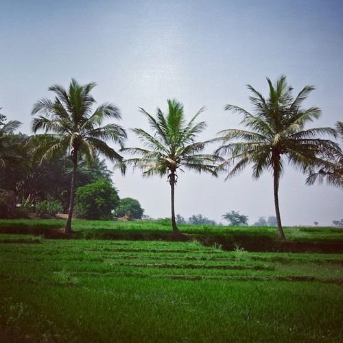 RuralIndia Ricefields Green Nature
