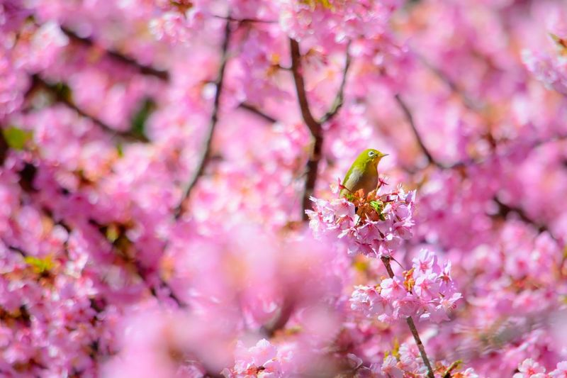 Japanese White-eye Bird Cherry Blossom Cherry Blossoms Pink Color Animal Animal Wildlife Animal Themes Flower Animals In The Wild Flowering Plant Springtime Invertebrate Nature No People One Animal Growth Blossom Tree