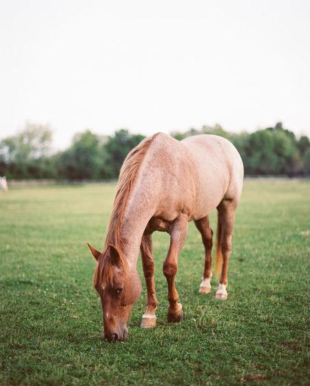 Horse Field Summertime America Trees Grazing Mammal Pennsylvania