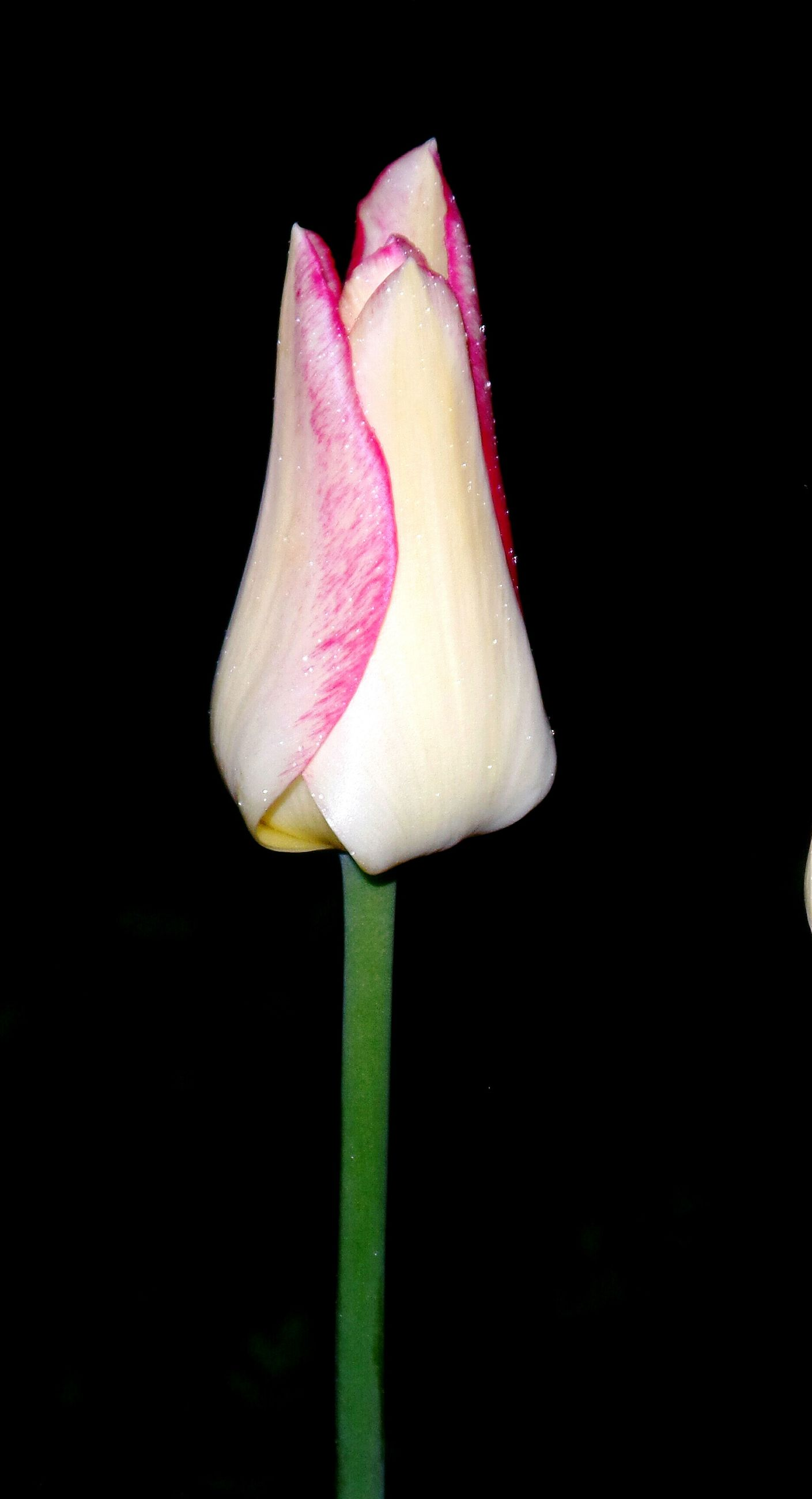 flower, petal, fragility, freshness, flower head, beauty in nature, nature, growth, black background, night, pink color, no people, close-up, studio shot, new life, blooming, outdoors