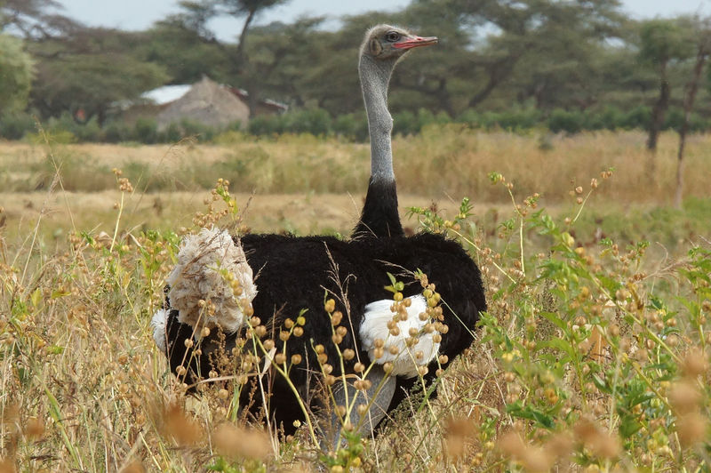 Male of Somali Ostrich, Ethiopia, Africa Africa Animal Animal Themes Animal Wildlife Animals In The Wild Bird Ethiopia Fauna Field Grass Male Nature Ostrich Outdoors Ratite Somali Ostrich Struthio Camelus Travel Wildlife