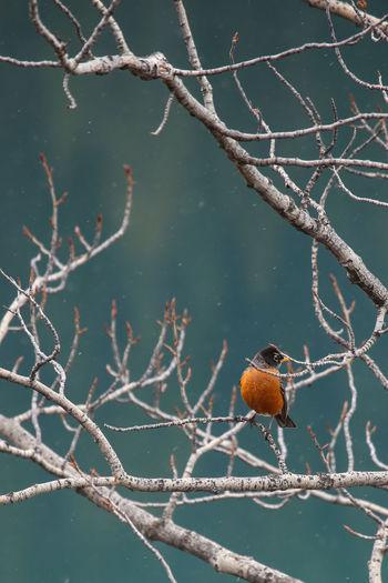 Robin at Nojack