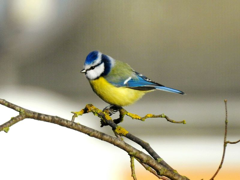 Bird Perching Songbird  One Animal Animal Wildlife Branch Nature Animals In The Wild No People Beauty In Nature Full Length Animal Themes Food Bluetit Day Outdoors Tree Close-up Tomtit