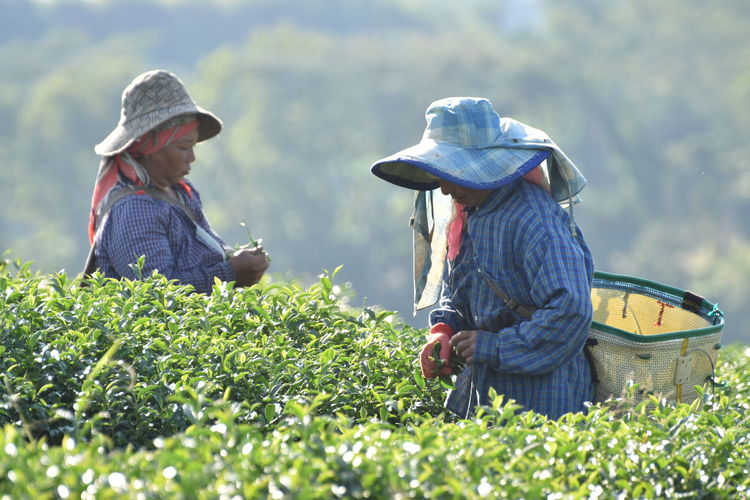 Adult Adults Only Agriculture Business Finance And Industry Chaingrai Crop  Day Farm Worker Farmer Field Flat Cap Food Freshness Greentea Healthy Eating Only Women Outdoors People Rural Scene Senior Adult Senior Men Teafield Two People Working