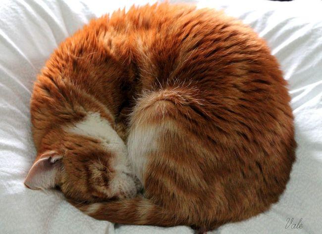 Nina Sleep, looks like a ball with a heart inside. <3 Ball Cat Cat Lovers Cat♡ Circle Core Cute Feline Hair Heart Light Love Love ♥ Lovely Orb Pillow Red Sleep Sleeping Sleeping Cat Soft White ZzZzZz ❤