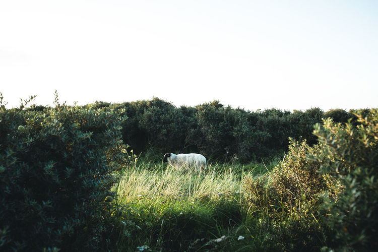 View of a sheep in the field