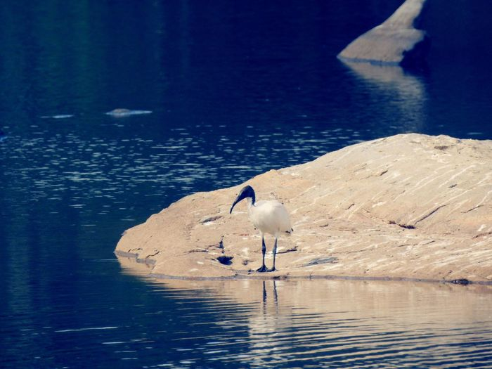 Black-headed ibis on rock in lake