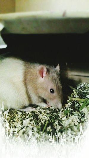 Teddy ❤❤❤❤ ʟᴏᴠᴇɪᴛ Animals Pet ᴘʜᴏᴛᴏ Animal Ratties Ratstagram Ratte Rats Rattie Rat Cutie