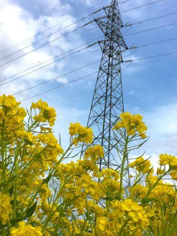 菜の花 春 花 青空 鉄塔 鉄塔♡Love 笑顔 キミといっしょに 繋がるソラ Spring Flowers Happiness Thank You Today