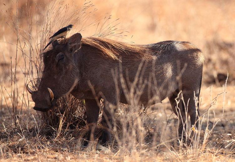 Oxpecker on warthog at tarangire national park