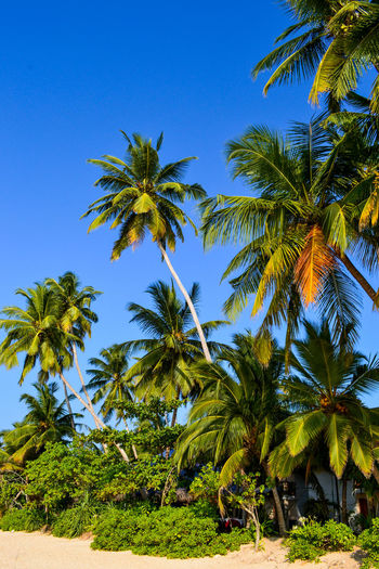 Palm trees against clear blue sky