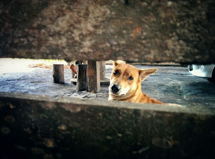 Peek a boo Dog Village Peekaboo Candid