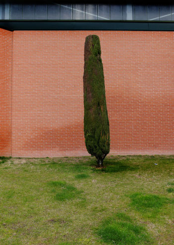 clipped tree against a red brick wal in urban setting Brick Wall Lonely Tree Unnatural Urban Geometry Abstract Concept Day Grass Green Color Inhuman Nature No People Outdoors Urban Urbanphotography
