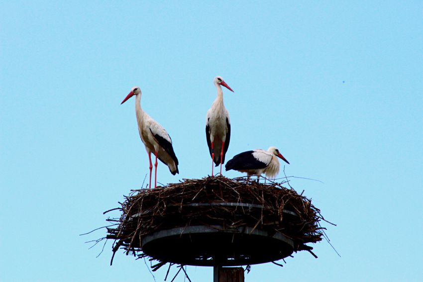 Animals In The Wild Bird Stork White Stork Animal Themes Clear Sky Animal Wildlife Two Animals Bird Nest Low Angle View Perching Day No People Nature Outdoors Blue Togetherness Sky Stork Nest Stork's Nest Storchennest Storch Störche Himmel Himmelblau