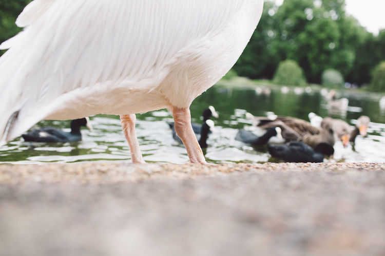 Animal Themes Animal Wildlife Animals In The Wild Beauty In Nature Bird Close-up Crane - Bird Day Domestic Animals Mammal Nature No People One Animal Outdoors Pelican Perching Selective Focus St James Park  Water Postcode Postcards
