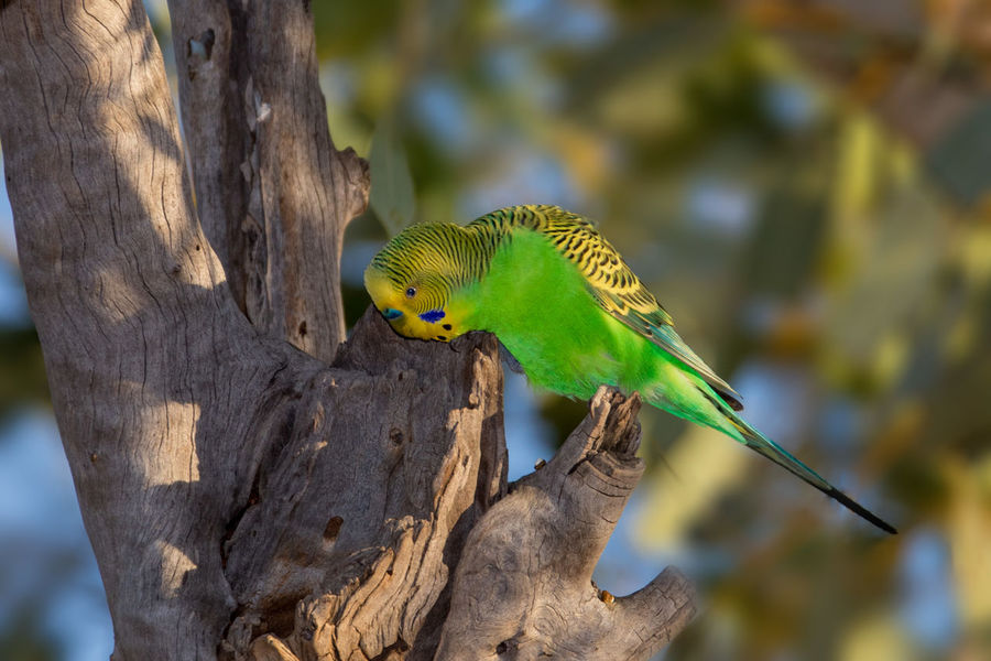 Budgerigar male in the wild near nest Budgerigar Kimberley Australia Melopsittacus Undulatus Animal Themes Animal Wildlife Animals In The Wild Beauty In Nature Bird Day Green Color Nature No People Outdoors Parrot Tree Trunk Wellensittich