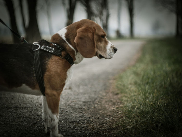 One Animal Pets Domestic Mammal Domestic Animals Animal Themes Animal Dog Canine Collar Pet Collar Focus On Foreground Looking Vertebrate Looking Away Road No People Leash Walking Outdoors Animal Head  Profile View Beagle Lomography