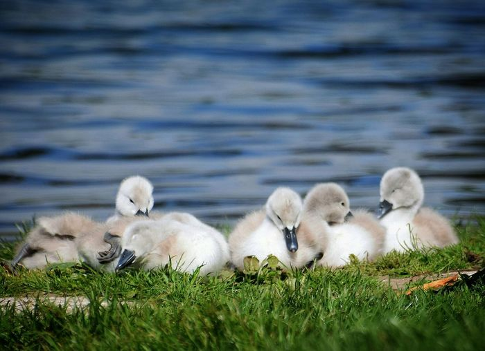 Surface Level Of Baby Cygnets On Grass